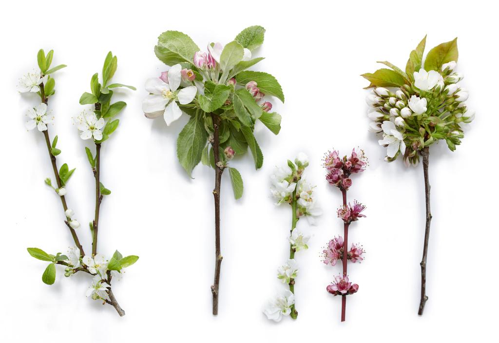 De verleiding van Bloesembomen in de lente