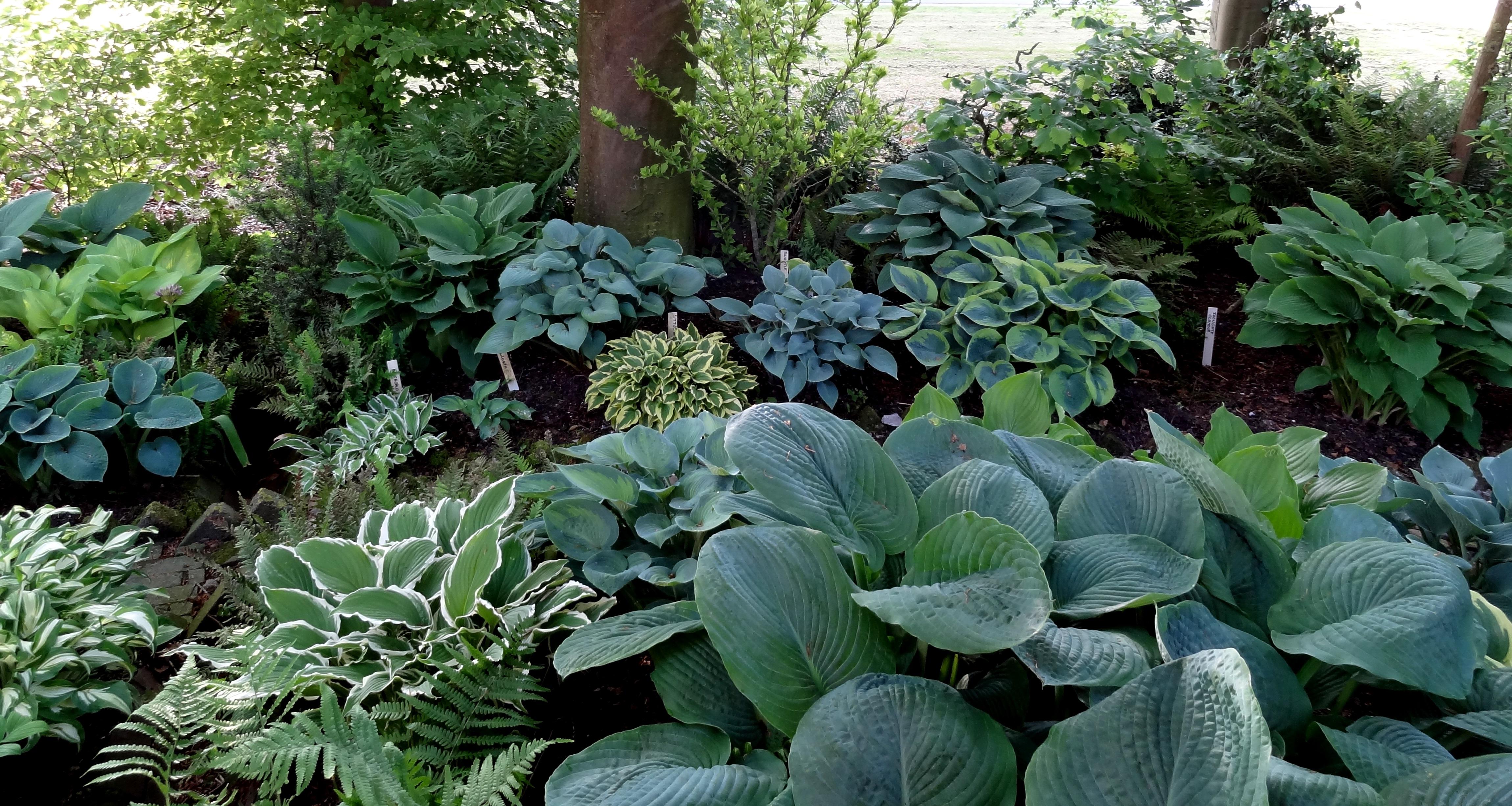 Wies Voesten's Passie voor planten – Hosta