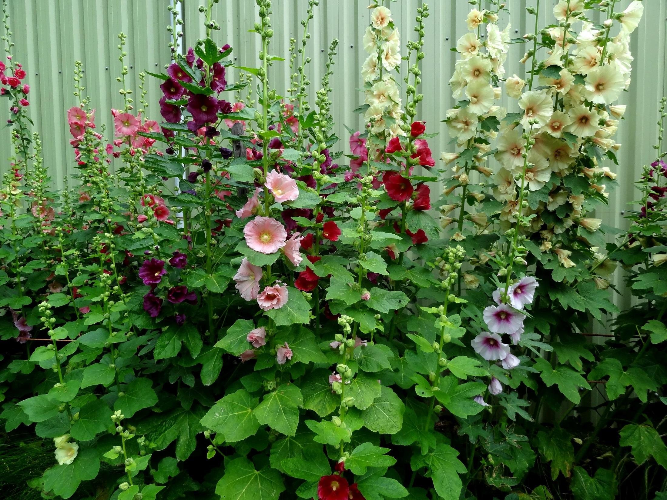 Wies Voesten's Passie voor Planten – Stokrozen
