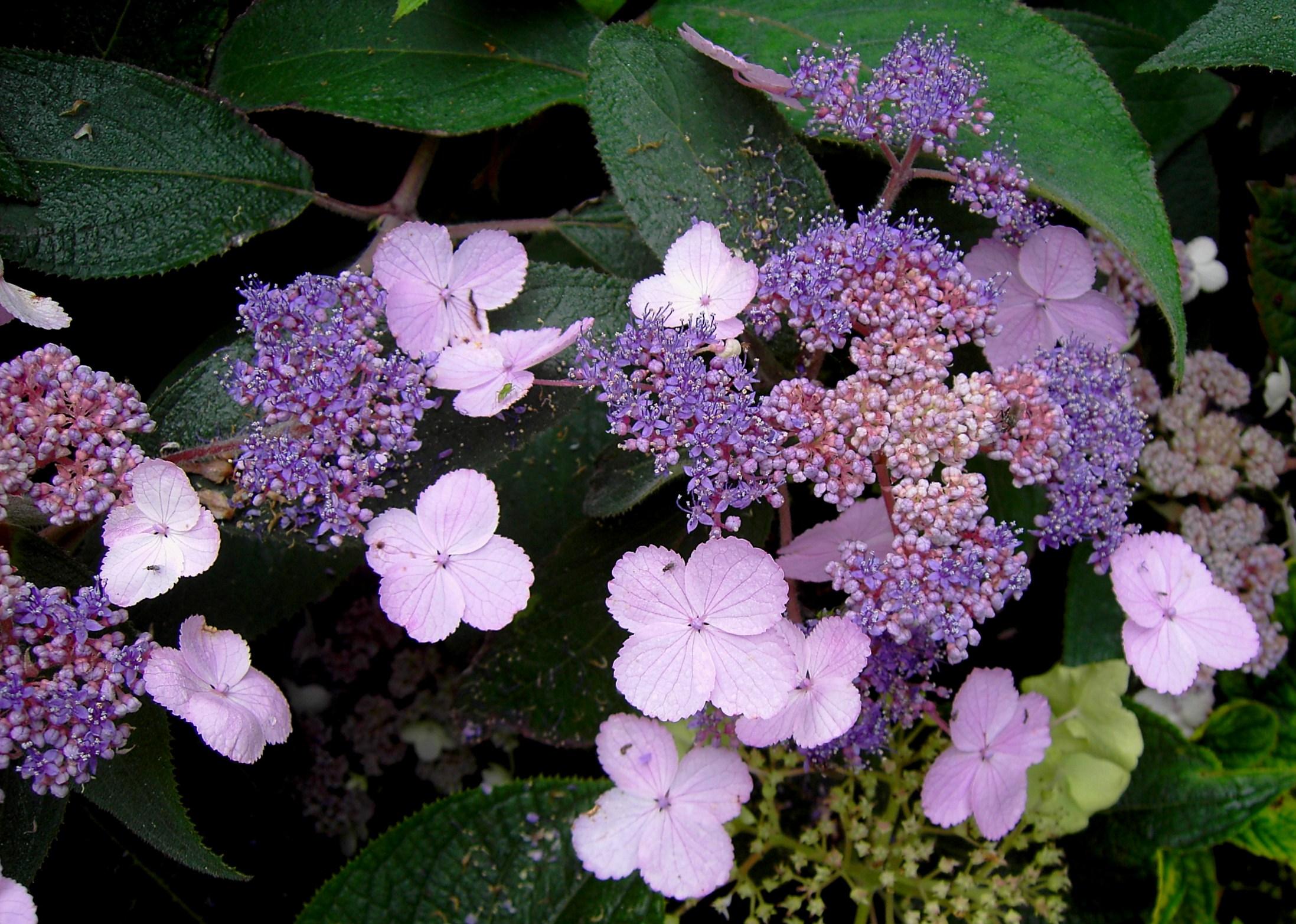 Wies Voesten's Passie voor Planten – Hortensia