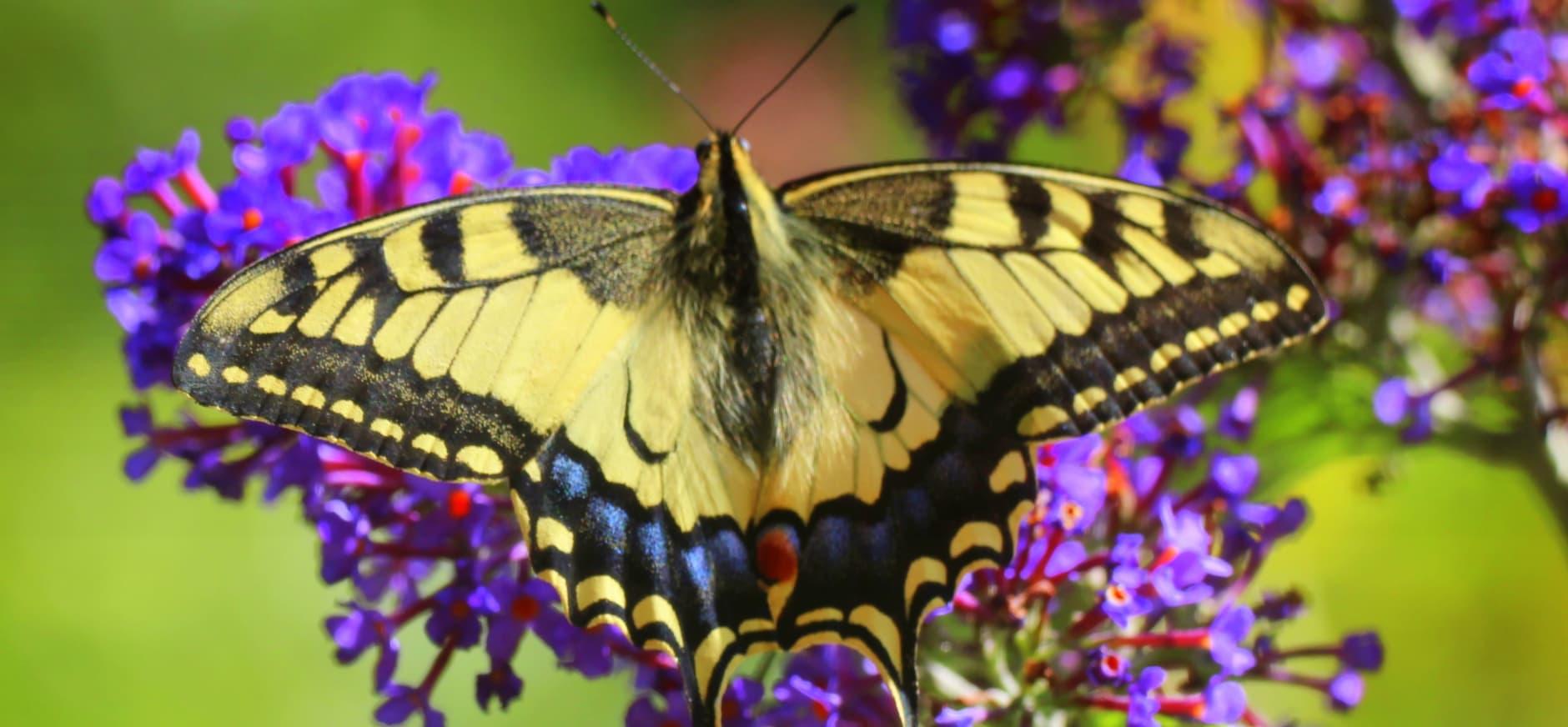 Maak uw tuin zo vlindervriendelijk mogelijk