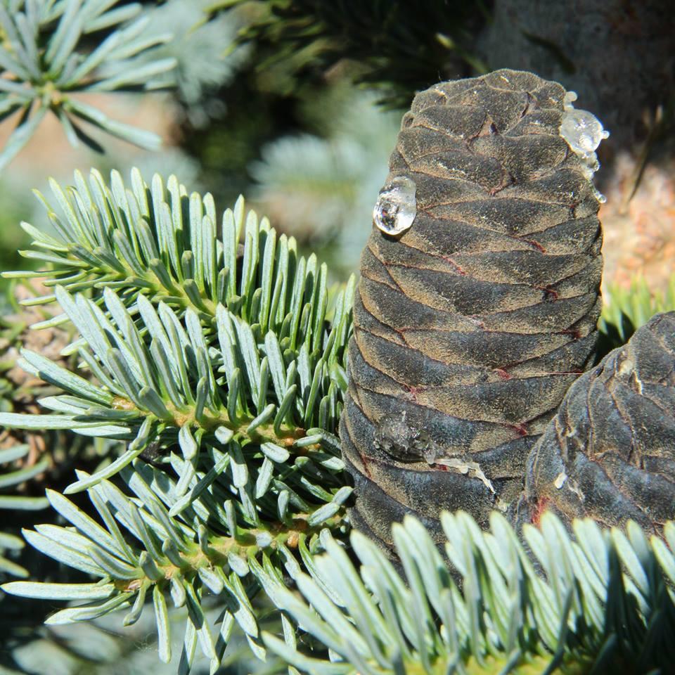 Abies magnifica 'Nana' deze soort heeft korte stevige takken met blauwe kegels die vaak op jonge leeftijd al aan de plant komen.