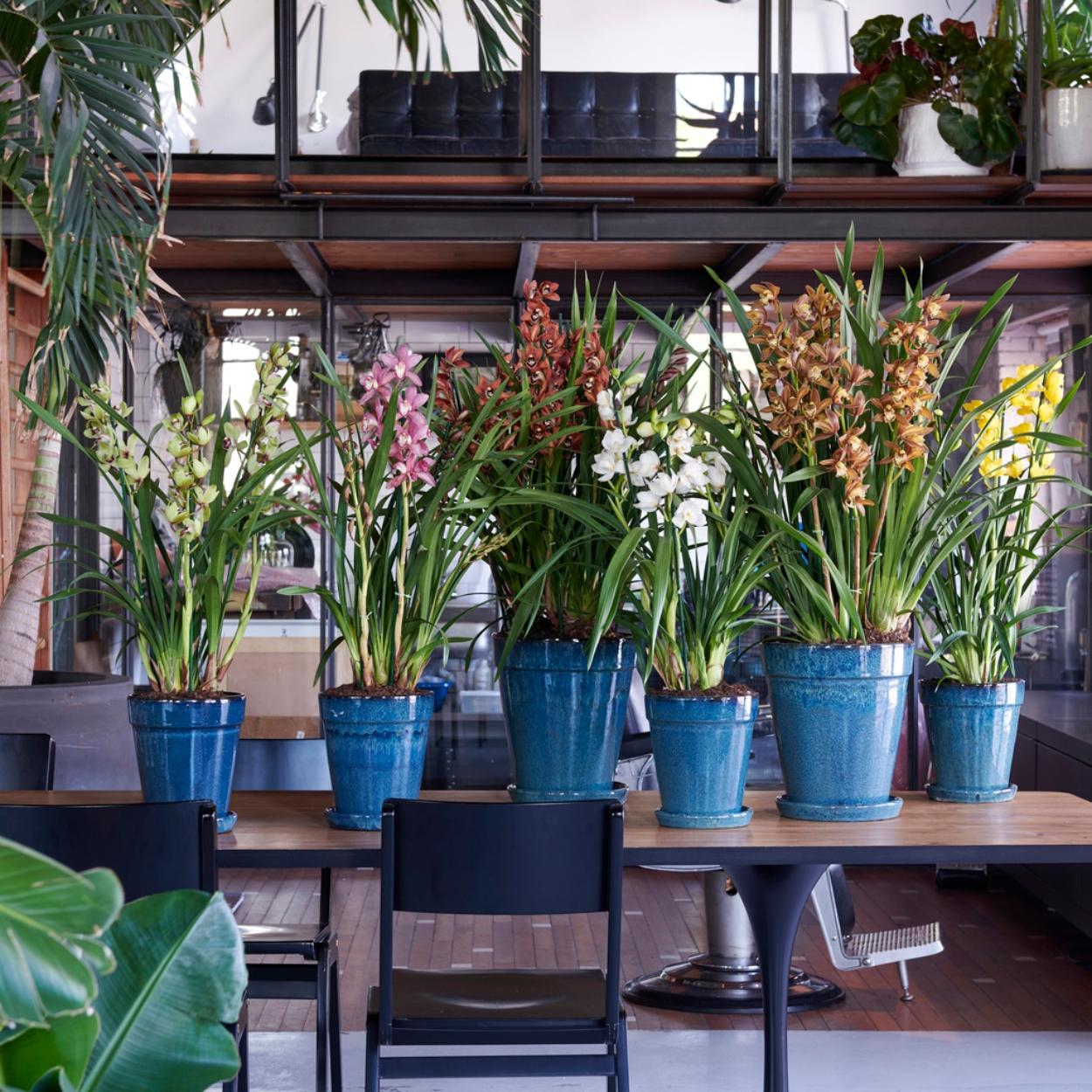 Cymbidium, de koning van de orchideeën