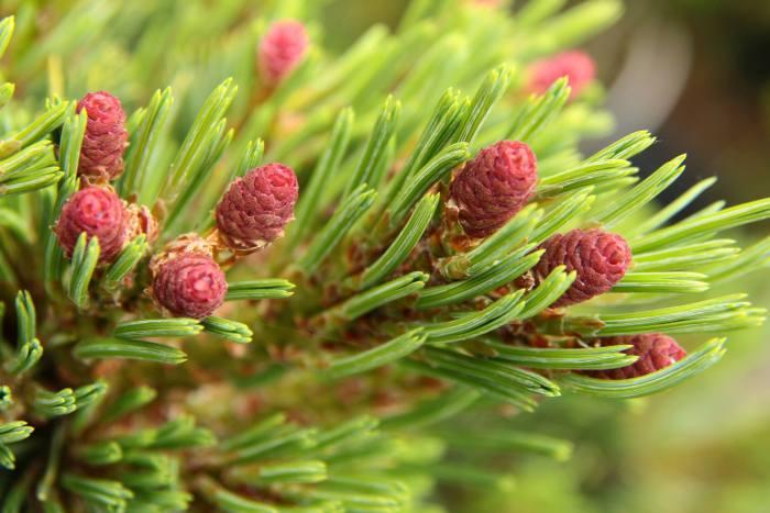 Wat dacht je van deze grappige kegels met hun zacht rode kleur van de Pinus flexilis 'DuFunny'
