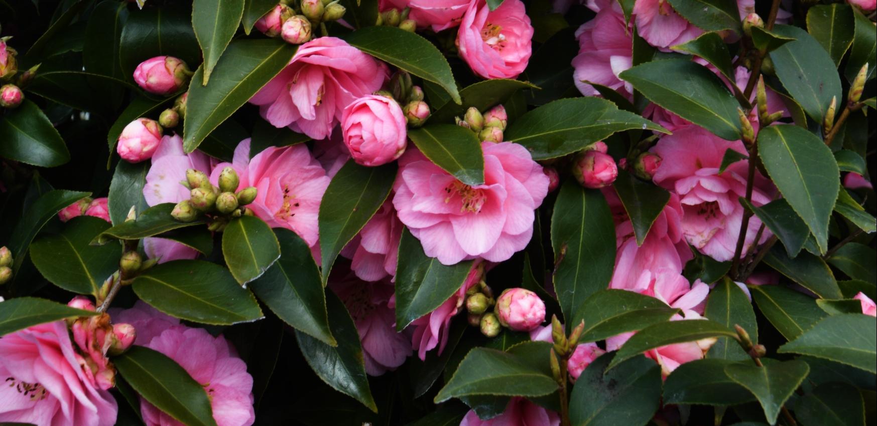 Camellia: Oosterse, onweerstaanbare schoonheid en ook nog winterhard
