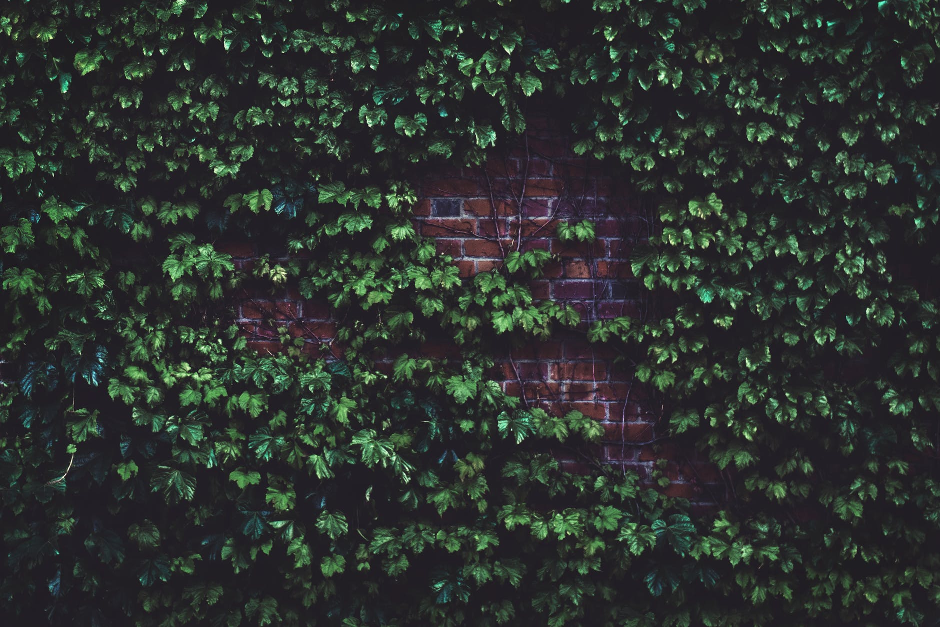 Gevels vergroenen met klimplanten en waarom klimop de beste is