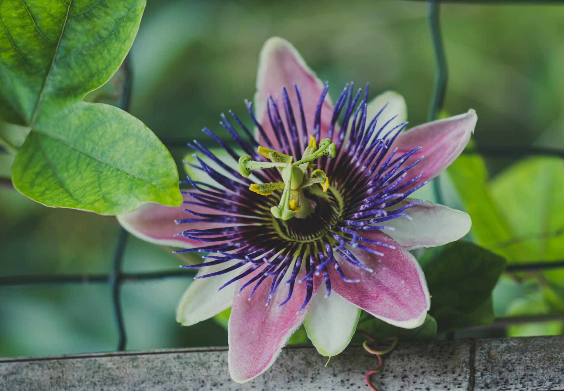 PrachtPlant: Passiflora (passiebloem)